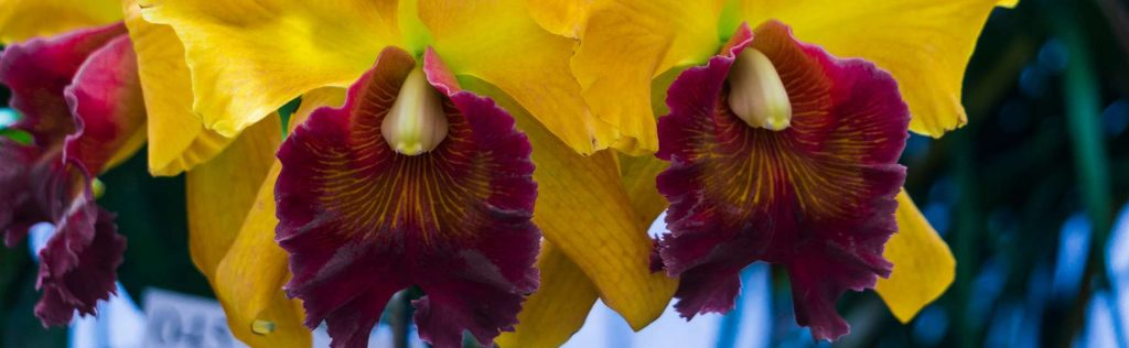 Blooming Cattleya Orchids