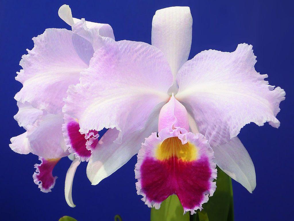 Cattleya Trianae Orchid